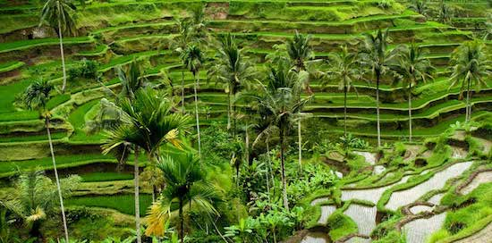 gorgeous bali rice fields and rice terraces copy