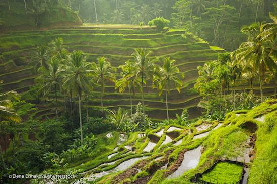 tegallalang rice terrace ubud